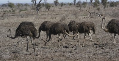 ostriches walking and foraging, get scared