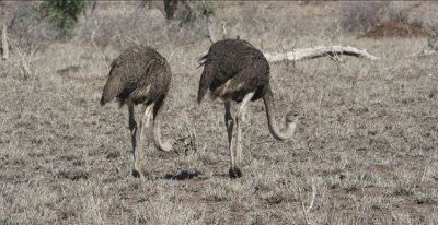 ostriches walking and foraging