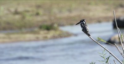 pied kingfisher hunting along the Oliphants River