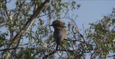 purple roller looking for insects