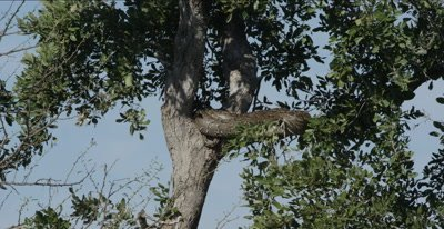rock python wrapped up in a tree, head in far back