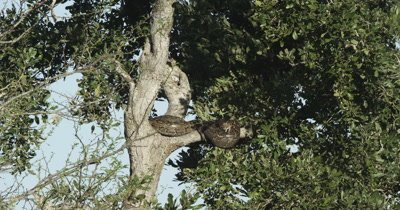 rock python wrapped up in a tree