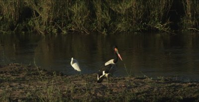 saddle-billed stork and little egret