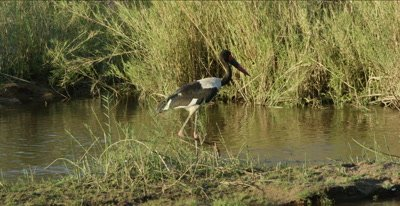 saddle-billed stork by river, little egret preening