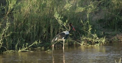 saddle-billed stork walking, hunting