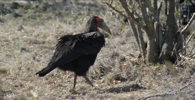 Southern ground hornbill walking and foraging