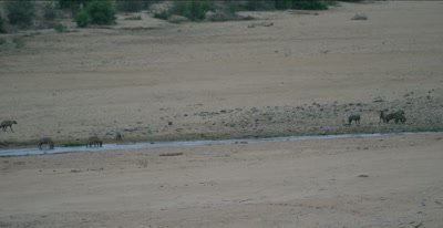 spotted hyaenas adults and cubs in Letaba River before sunrise eating