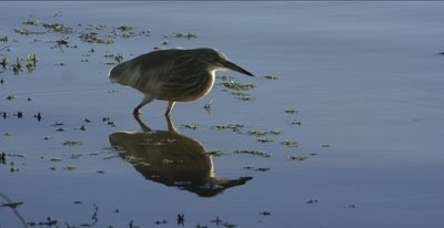 squacco heron hunting, catches several small fish, African jacana walks by, reflection in water