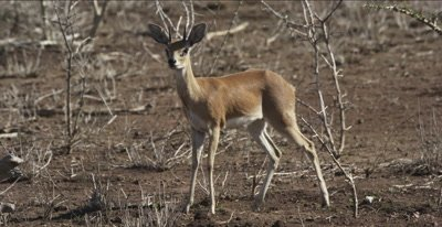 male steenbok watching and walking