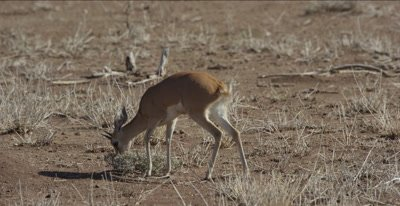 male steenbok grazing and walking