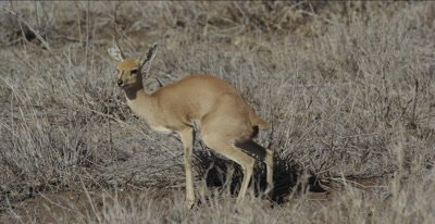 female steenbok defecating