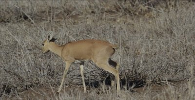 female steenbok walking and browsing