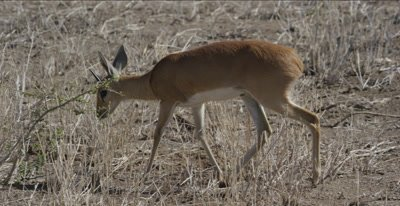 male steenbok walking, grazing