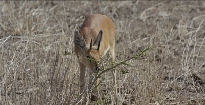 male steenbok grazing