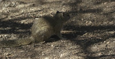 African tree squirrel eating, running away