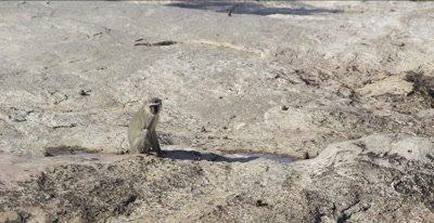 vervet monkey walking