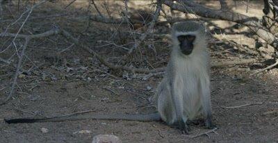 male vervet monkey sitting