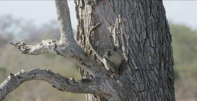 vervet monkey on tree branch looking around