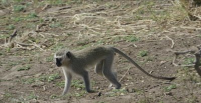 vervet monkey walking and foraging