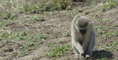 female vervet monkey foraging
