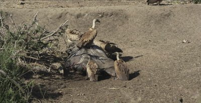 white-backed vultures and dead hippo, vultures feeding