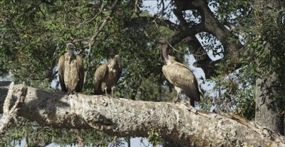 white-backed vultures sitting on a big tree limb waiting for a hippo to die, 1 intimidates 2 others