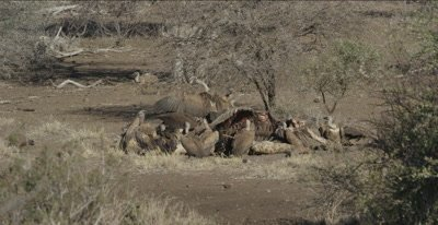 vultures, mostly white-backed and 2 lappet-faced and a hooded vulture on dead giraffe