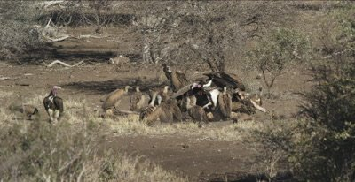 vultures, mostly white-backed and 2 lappet-faced and a hooded vulture