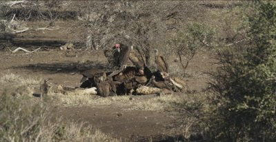 vultures, mostly white-backed and 2 lappet-faced and 1 cape vulture and a hooded vulture on a giraffe