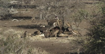 vultures, mostly white-backed and 2 lappet-faced and 1 cape vulture and a hooded vulture on a dead giraffe