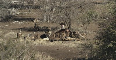 vultures, mostly white-backed and 2 lappet-faced and 1 cape vulture and a hooded vulture on a dead giraffe, a fight between 2 cape vultures