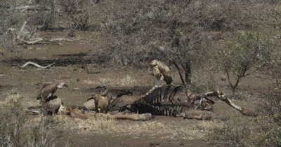 cape and white-backed vultures on giraffe carcass, some fly