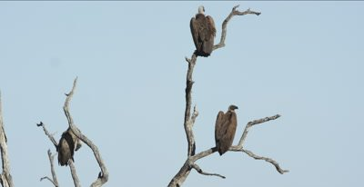 white-backed vultures waiting for lions to leave a kill, close