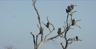 white-backed vultures waiting for lions to leave a kill, wide