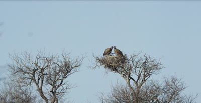 a pair of white-backed vultures in nest