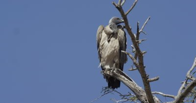cape vulture sitting in a tree