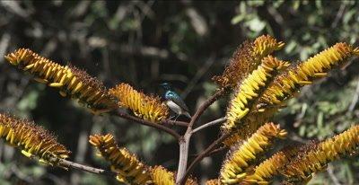 male white-bellied sunbird getting nectar from aloe