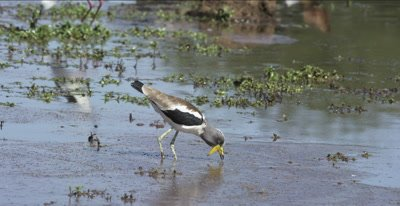 white-crowned plover eating