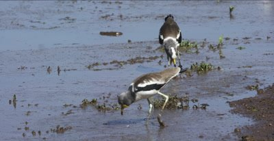 2 white-crowned plovers hunting and eating