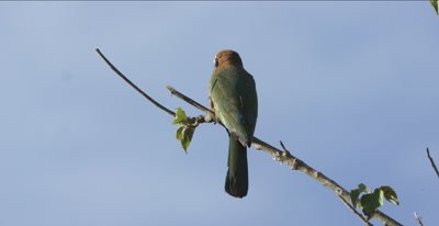 white-fronted bee-eater on limb looking for insects