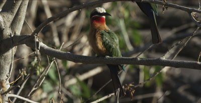 white-fronted bee-eater preening
