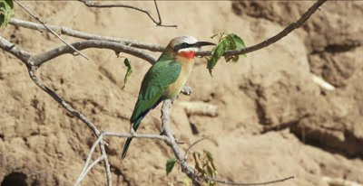 white-fronted bee-eater warming itself in early morning sun, flies