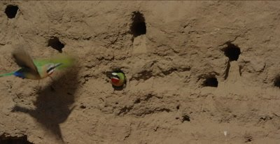 white-fronted bee-eater, 1 sitting in nest hole, another one comes over with words exchanged, first one flies