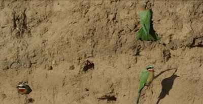 white-fronted bee-eaters, 2 hanging on clay by nest holes, one sticking head out of hole