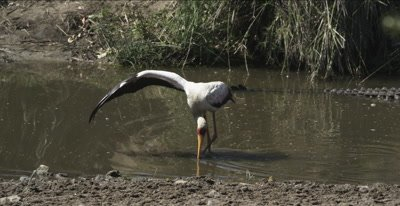 yellow-billed stork, hunting next to a crocodile, uses wing to corral fish?