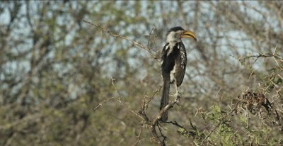 Southern yellow-billed hornbill watching from tree