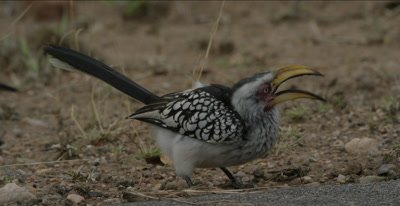 Southern yellow-billed hornbill, eating