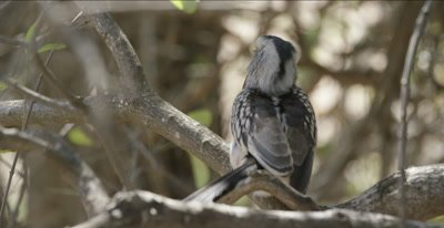Southern yellow-billed hornbill, sitting in tree, turns towards camera