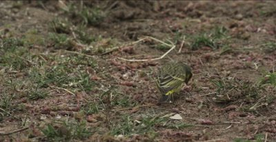yellow-fronted canary, feeding on ground