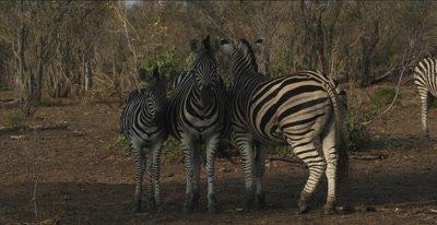 3 zebra, 2 adults, 1 foal standing